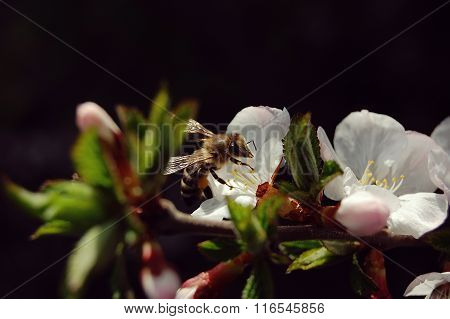 Bee Collecting Nectar From Flower Of Cherry, Close-up