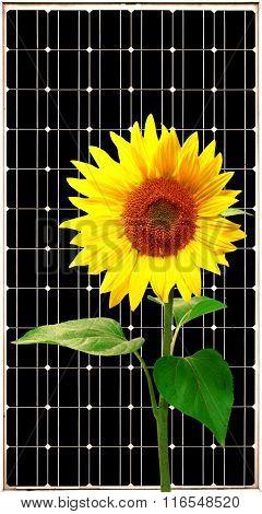 Solar energy panel with sunflower