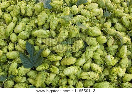 Hop Cones