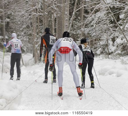 STOCKHOLM - JAN 24 2016: Rear view of a group of cross country skiing men in the beautiful spruce forest at the Stockholm Ski Marathon event January 24 2016 in Stockholm Sweden