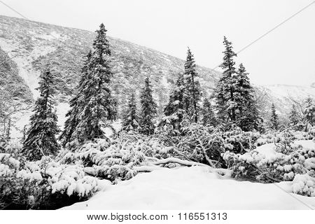 Winter scene in mountain forest