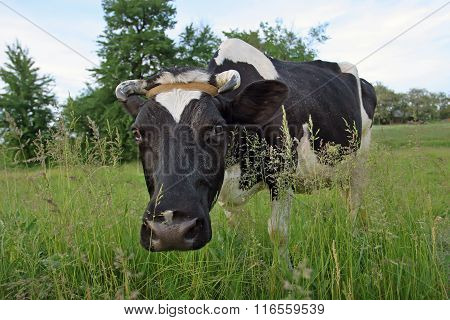 Horned Spotted Cow In A Meadow Looking Into The Camera The Photographer. Fashionable View
