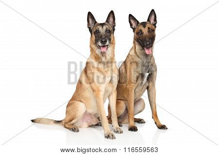 Belgian Shepherd Dog Malinois On A White Background
