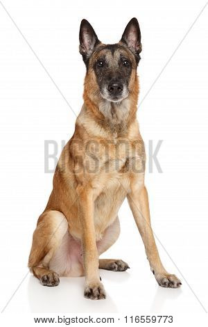 Adult Belgian Shepherd Dog