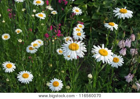 Summer Floral Background With Delicate White Daisies On A Bed