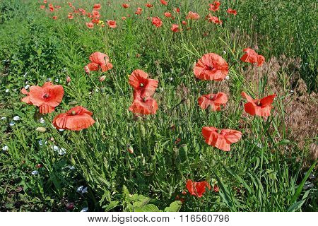Poppy Field. Meadow Overgrown With Wild Red Poppy. Fields Of Poppies In Bloom