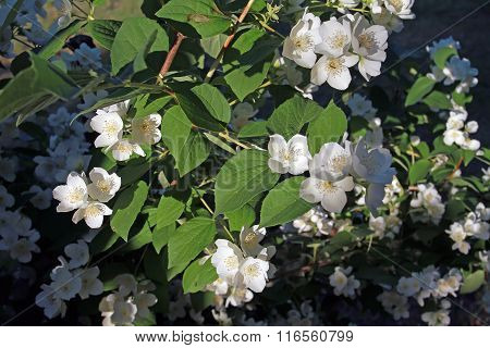 Shrub Of The Family Hydrangea Blooms Large White Flowers And Has A Strong Scent
