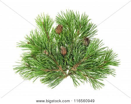 Pine Tree Branches With Cones Isolated On White Background