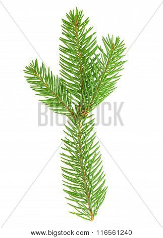 Spruce Twig Isolated On White Background