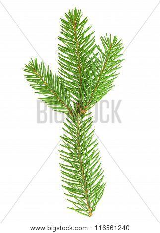 Spruce Twig Isolated On White Background