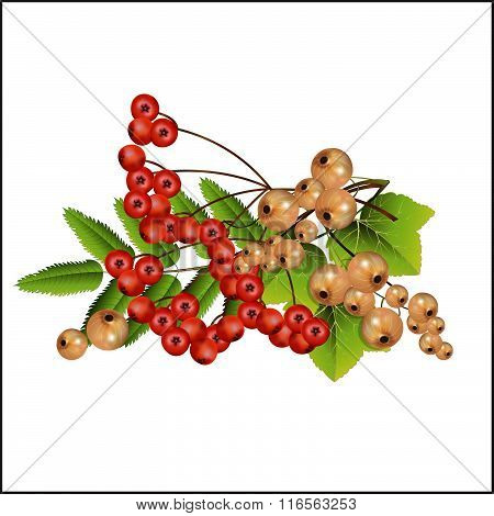Garden Currant And Mountain Ash In A Set.