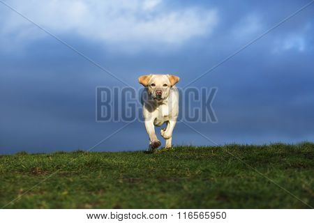 yellow lab running in field