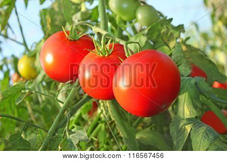 Ripe Red Tomatoes In Greenhouse