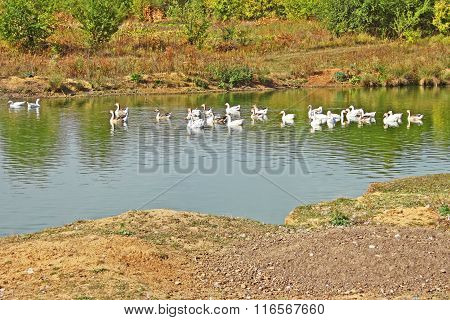 Herd Of Geese On The Pond