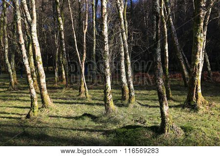 Bare Birch Trees Planted On A Sunny Patch Of Green Grass In Glendalough In Ireland
