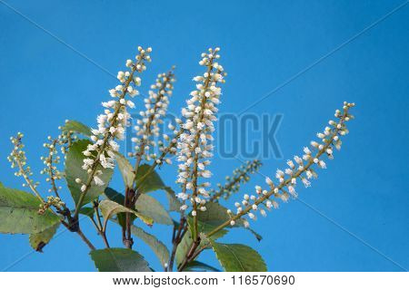 Kamahi Flowers