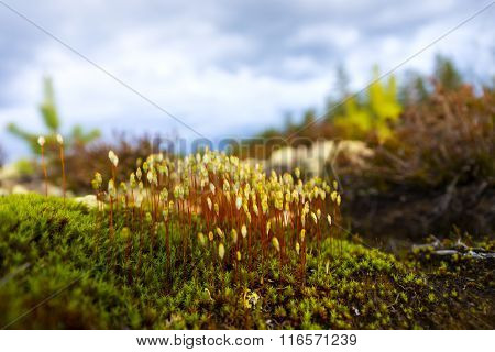 Hair Cap Moss In Scandinavian Forest
