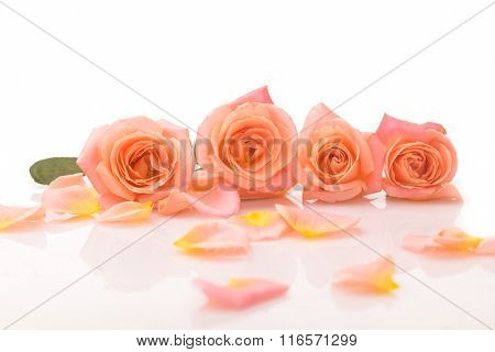 Four rose with loose petals isolated o