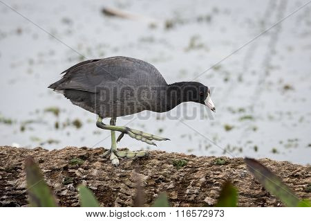 American Coot Walking On A Log - Florida