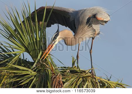 Great Blue Heron Building A Nest In A Palm Tree