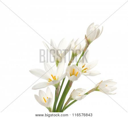 White lilies ' bunch on a white background. Zephyranthes candida