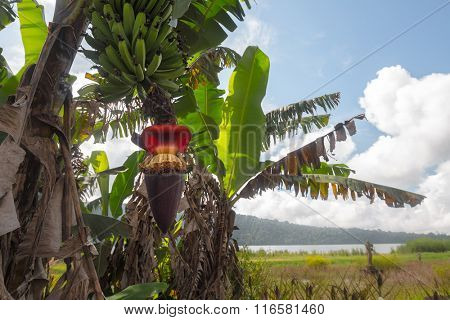 Banana tree with bunch of green bananas and red banana flower