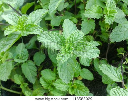 mint tree in garden