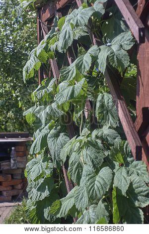 hop leaves om wood trellis. green hop. red wood. sunny day.