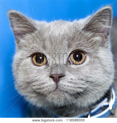 kitten Scottish shorthair