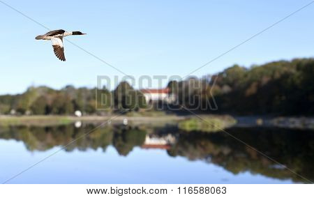 A single Goo-sander, merganser in migration.