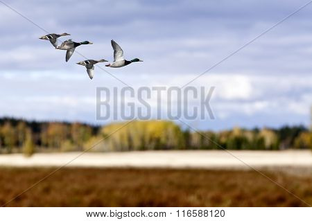A flock of wild duck in migration.