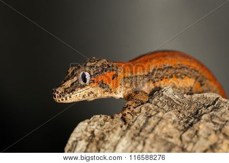 Red Striped Gargoyle Gecko On A Tree Trunk