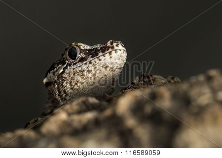 Head Of A New Caledonian Bumpy Gecko