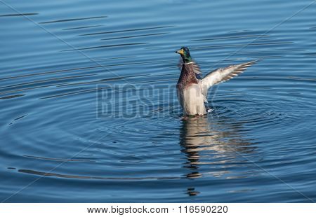 Male Mallard Duck Landing In The Water