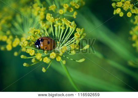 ladybug on green leaf dill