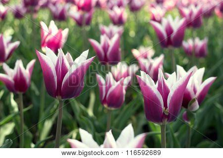 beauty tulip flower