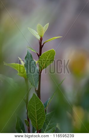 Green sprout on a bush laurel