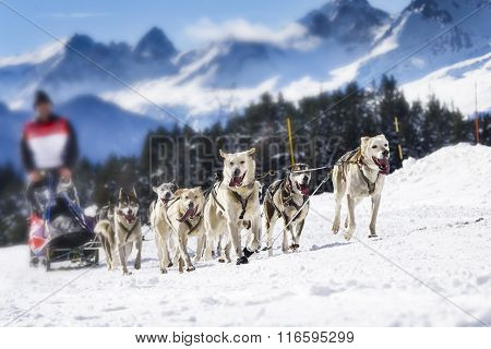 Sledge Dogs In Speed Racing