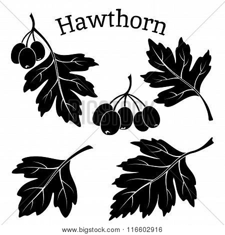 Hawthorn Leaves and Fruits Pictograms