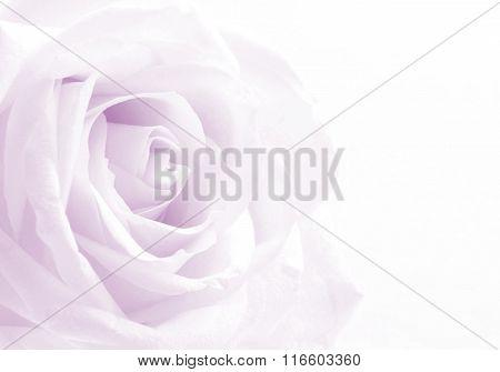 Beautiful Toned White Rose Close Up As Wedding Background. Soft Focus. Retro Style