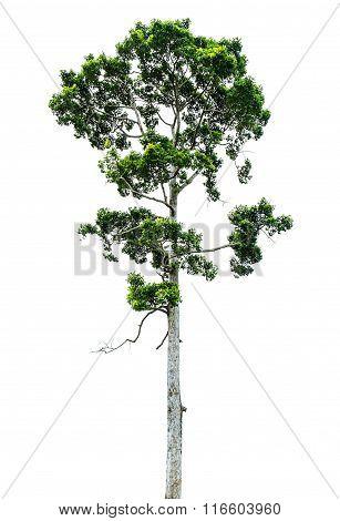 Tree, isolated on white background