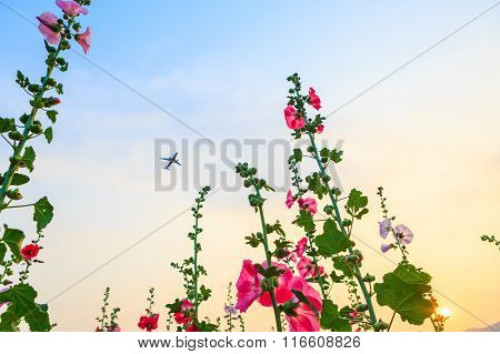 Hollyhock Flower Garden With Sunset Sky And Plane