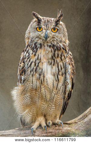 Owl Night Bird