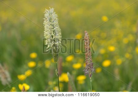 Meadow Foxtail - Close-up