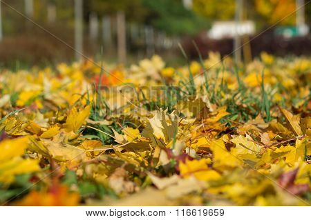 Intensely Bright Autumn Leaves On The Meadow