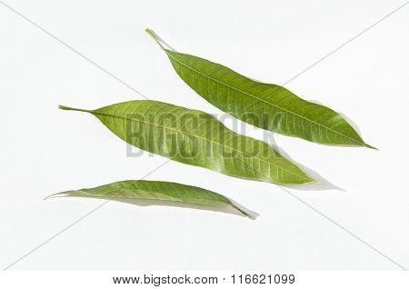 Single mango leaves on stark white background.