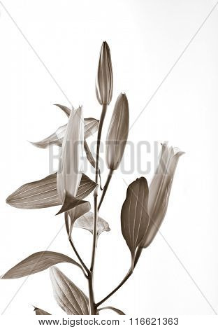 A branch of young Lily flower on white background - sepia tone treatment