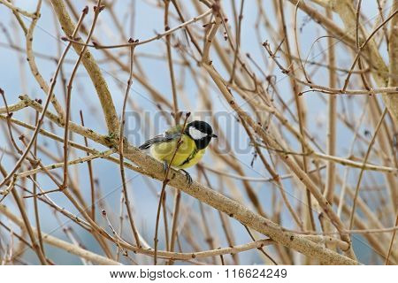The Great tit bird in yellow and black color (Parus major) perching on a tree branch during winter in Europe