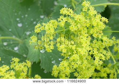 Closeup of Common a Mantle flowers ( Alchemilla mollis) with morning dews on leaves