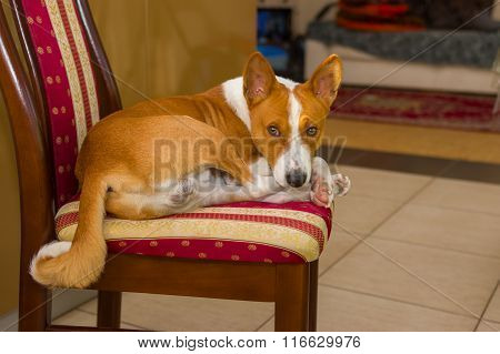 Tired Basenji having rest on a chair